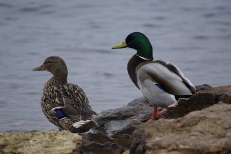 Весеннюю охоту на водоплавающих птиц в Беларуси могут ограничить.