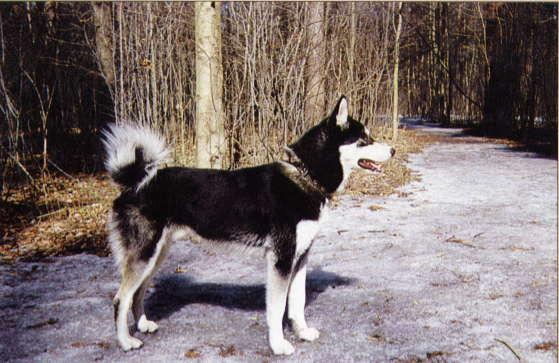 Купи собаку барабаку) а если серьезно Лайку. так может уже немецкая овчарка лучше ..или