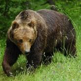 Медведь-подранок