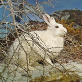 Дикий заяц стал в Эстонии экзотикой?