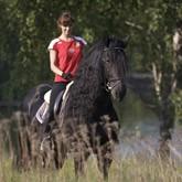 История фризской породы лошадей