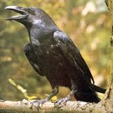 Ворон - умная птица…