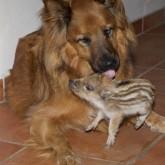 Животные и их приемные детеныши