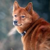 Редкие породы собак.  Карело-финская лайка Блог группы.