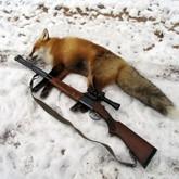 Экзамен для охотника, нападение волков и охота на лисиц