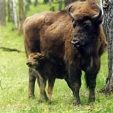 В центральном зубровом питомнике Приокско-террасного государственного природного биосферного заповедника занимаются...
