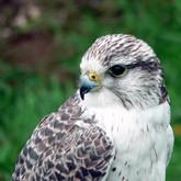 Новости о хищных и разных птицах