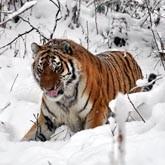 Новости о больших кошках: ирбисы, леопарды, тигры, пумы