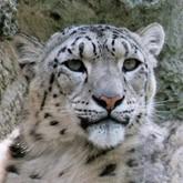 Новости об ирбисах и тиграх. Март 2012