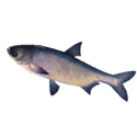 Рыбалка на толстолобика